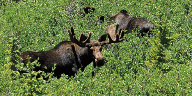Two bull moose browsing willows at Tincup Pass, west of Buena Vista, Colo. Department photo by Mark Watson.