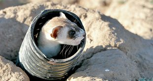 A released ferret peeks out from a black-corrugated tube. Department photo by Jim Stuart.