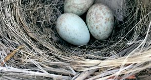 Bendire's thrasher nest with eggs. Photo by Allison Salas, New Mexico State University graduate student.