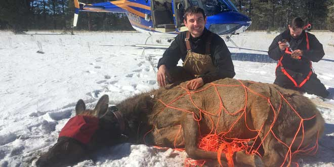 Elk capture: Photo by Earl Watters.
