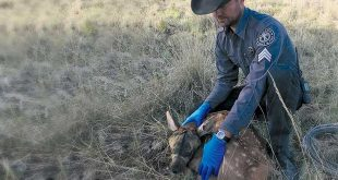 Conservation officer Kasey Gehrt prepares to take biological samples from an elk calf. Department photo by Alexa J. Henry.