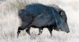 Out of RangeJavelina are making appearances in some of the most unlikely places