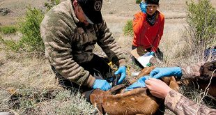 Big game program manager Nicole Tatman and conservation officer Jared Burns examine a captured calf. Department photo by Martin Perea.