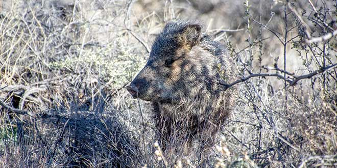 Javelina spotted at the Ladder Ranch.