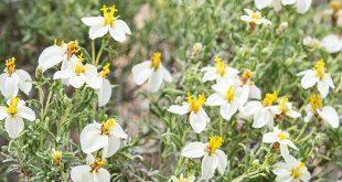 Desert marigold. NMDGF Department photo by Jeremy Lane